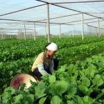 Cách trồng rau trong nhà lưới