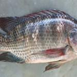 Kĩ thuật chuyển giới tính cá rô phi