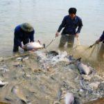 Kĩ thuật nuôi cá chim trắng - ki thuat nuoi ca chim trang 1 150x150
