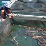 Kĩ thuật nuôi cá chình trong bể xi măng