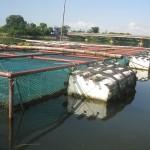 Kĩ thuật nuôi cá trắm trong lồng - ki thuat nuoi ca tram trong long 150x150