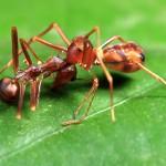 Kĩ thuật nuôi kiến vàng trên vườn cây có múi