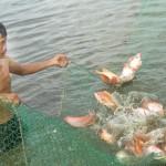 Kĩ thuật nuôi tôm sú với cá điêu hồng