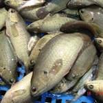 Kĩ thuật sản xuất giống cá rô đồng - ki thuat san xuat giong ca ro dong 150x150