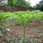 Kĩ thuật trồng cây nưa lấy bột