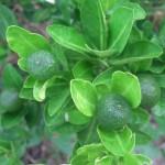 Kĩ thuật trồng Chanh