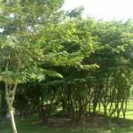 Kĩ thuật trồng và chăm sóc cây Sưa