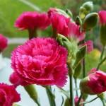 Kĩ thuật trồng và chăm sóc hoa cẩm chướng - ki thuat trong va cham soc hoa cam chuong 150x150