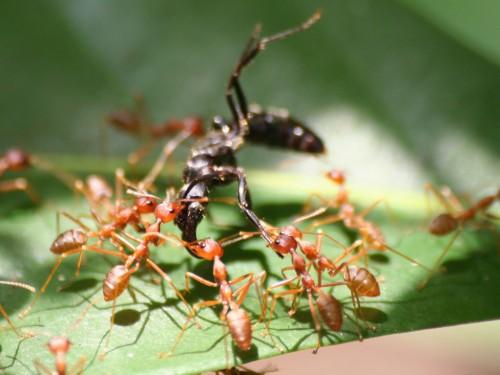 Kiến vàng trừ sâu hại cây ăn quả - kien vang 500x375