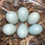 Kỹ thuật ấp nở trứng chim công