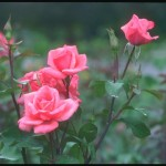 Kỹ thuật ghép Hoa Hồng - ky thuat ghep hoa hong 150x150