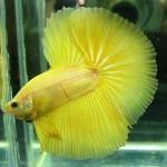 Kỹ thuật nuôi cá Betta Thái - ky thuat nuoi ca betta thai 150x150