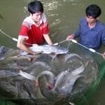 Kỹ thuật nuôi cá lăng nha - ky thuat nuoi ca lang nha 150x150
