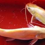 Kỹ thuật nuôi cá lăng vàng - ky thuat nuoi ca lang vang 150x150