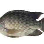 Kỹ thuật nuôi cá rô phi đơn tính cho năng suất cao