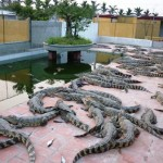 Kỹ thuật nuôi cá sấu thương phẩm