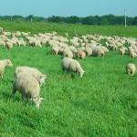 Kỹ thuật nuôi và chăm sóc Cừu - ky thuat nuoi va cham soc cuu 150x150