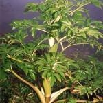 Kỹ thuật trồng cây Bạch Chỉ - ky thuat trong cay bach chi 150x150