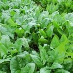 Kỹ thuật trồng rau chân vịt – rau bina – cải bó xôi