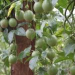 Kỹ thuật trồng chăm sóc cây Chanh leo