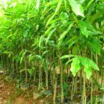 Kỹ thuật trồng chăm sóc cây Dó