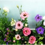 Kỹ thuật trồng hoa Cát Tường