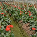 Kỹ thuật trồng và chăm sóc hoa Đồng Tiền - ky thuat trong va cham soc hoa dong tien 150x150