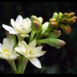 Kỹ thuật trồng và chăm sóc hoa Huệ - ky thuat trong va cham soc hoa hue 150x150