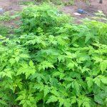 Kỹ thuật ươm trồng cây Xoan - ky thuat uom trong cay xoan 1 150x150