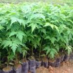 Kỹ thuật ươm trồng cây Xoan