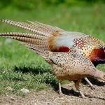 Lưu ý khi nuôi chim trĩđỏ - luu y khi nuoi chim tri do 150x150