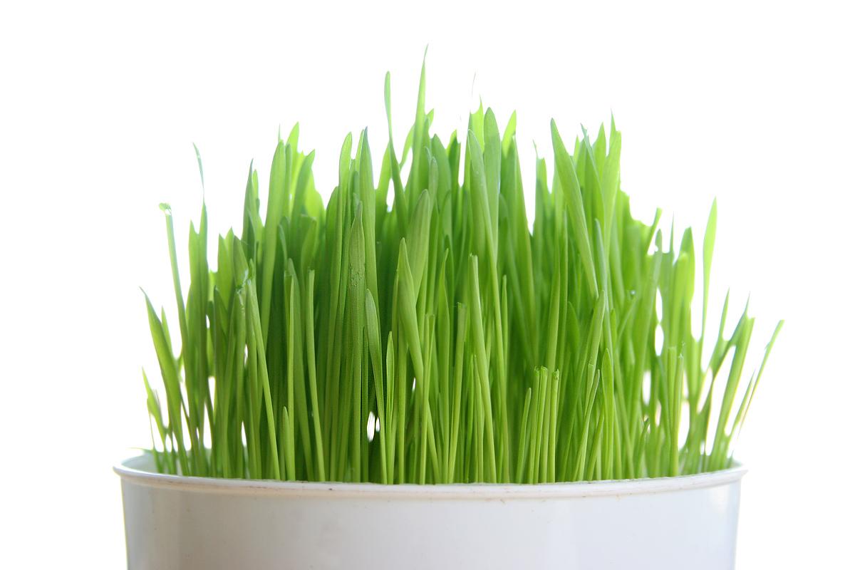 6 lợi ích tuyệt vời của mầm lúa mạch - mam lua mach