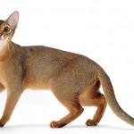 Mèo Abyssinian - meo abyssinian 150x150