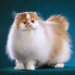 Mèo Ba Tư - meo ba tu 150x150