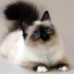 Mèo Birman - meo birman 150x150