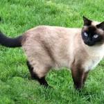 Mèo Xiêm - meo xiem 150x150