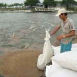 Mô hình nuôi cá lóc bằng thức ăn công nghiệp