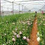 Mô hình trồng hoa Cát Tường