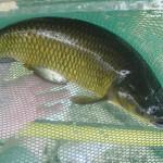 Một số bệnh thường gặp ở cá trắm cỏ