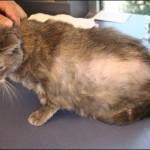 Nguyên nhân gây rụng lông ở Mèo - nguyen nhan gay rung long o meo 150x150