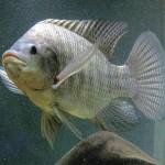 Những lưu ý khi nuôi cá rô phi bằng thức ăn công nghiệp