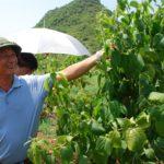 Nông dân đầu tiên trồng Sachi