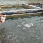 Nuôi cá rô phi trong đầm nước lợ