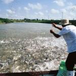 Nuôi cá rô phi xuất khẩu chất lượng cao