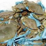 Nuôi cua quảng canh dưới chân ruộng muối - nuoi cua quang canh duoi chan ruong muoi 150x150