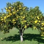 Cách tăng năng suất cây ăn quả