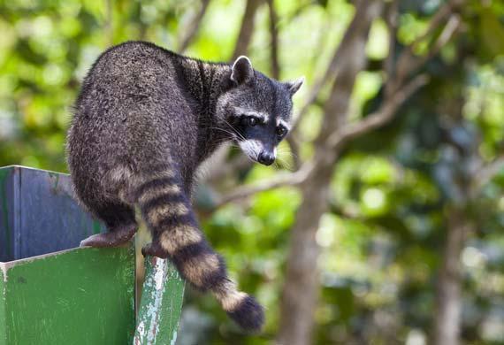 10 sự thật về bệnh Dại - raccoon trash shutterstock 100244822