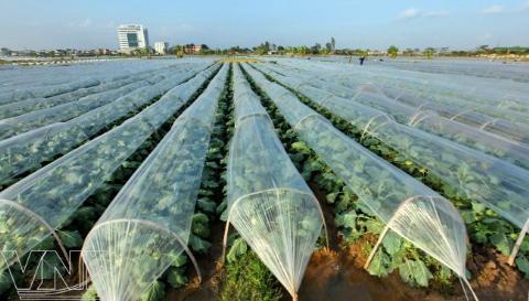 Cách phủ nilon để trồng rau vụ đông - rau vu dong