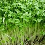 Lợi ích từ trồng rau mầm