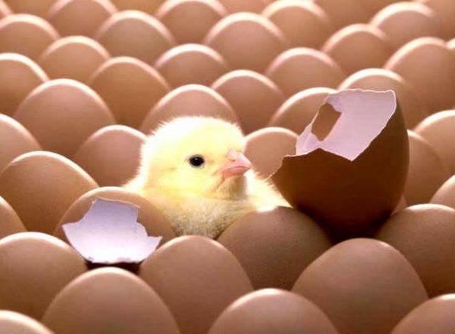 Sản xuất và bảo quản trứng gà giống trong thời gian dịch bệnh cúm gia cầm - san xuat va bao quan trung ga giong trong thoi gian dich benh cum gia cam 1 640x470